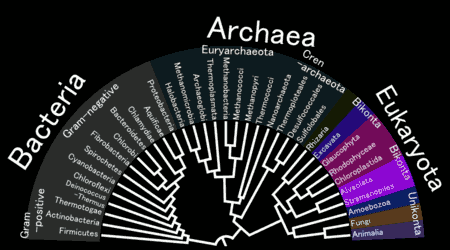 An example of a phylogenetic tree